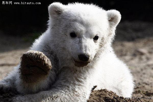 【超可爱的小北极熊图片】-易车网bitauto.com