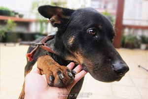 勇猛护家的罗格威犬阿迪